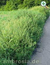 Ambrosiapflanzen
